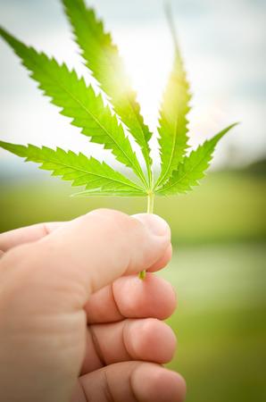hoja marihuana: La mano del hombre la celebración de una hoja de cannabis o marihuana contra el sol