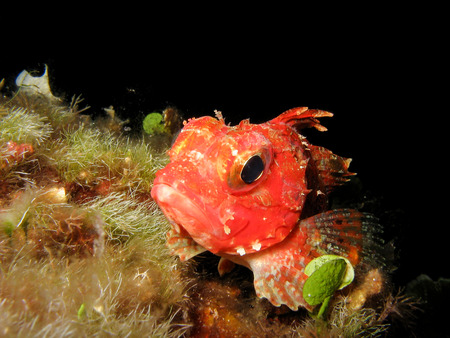 stonefish: Close up of a mediterranean scorpion fish Scorpaena notata. Scorpion fish is resting on the sea rocks. Stock Photo