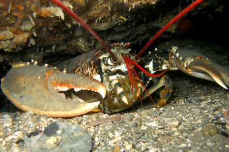ship wreck: Common European Lobster underwater in a cave under a ship wreck with giant claws. Stock Photo