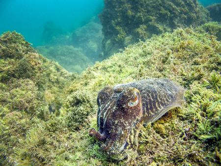 sea grass: Cuttlefish in natural habitat of the sea. Camouflage color protect it from predator. Tentacles fish eye and sea grass visible.