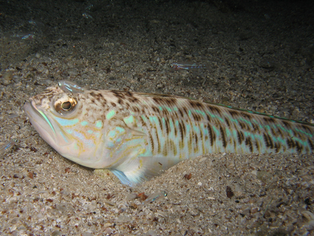 dive trip: Venomous and poisonous fish Greater weever (Trachinus draco) on sandy sea floor with small young fish around.