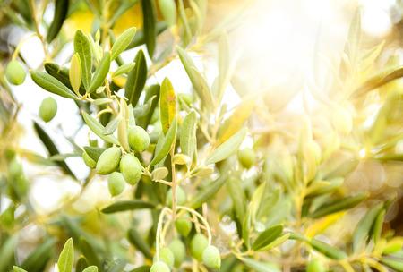 Aceitunas en rama de olivo. Detalle de cerca de frutas aceitunas verdes con atención selectiva y la poca profundidad de campo Foto de archivo