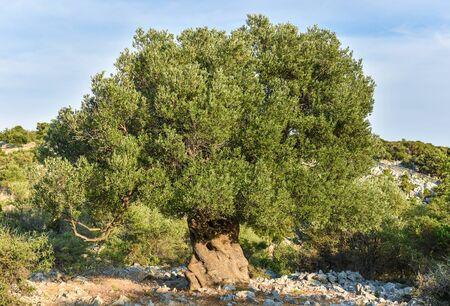 Grote en oude oude olijfboom in de olijf tuin in de Middellandse Zee