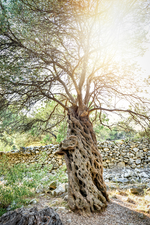 shinning: Big and old ancient olive tree in the olive garden in Mediterranean with sun shinning through branches in the back.