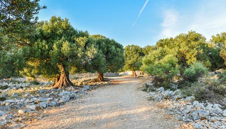 Duże i stare drzewa oliwnego starożytne w ogrodzie oliwnym w basenie Morza Śródziemnego
