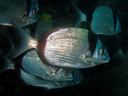 Diplodus 学校尋常性 - 自然の生息地での一般的な 2 つの縞鯛の水中撮影 写真素材 - 51505604