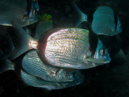 fresh water smelt: Underwater shot of School of Diplodus vulgaris - Common two-banded seabream in natural habitat Stock Photo