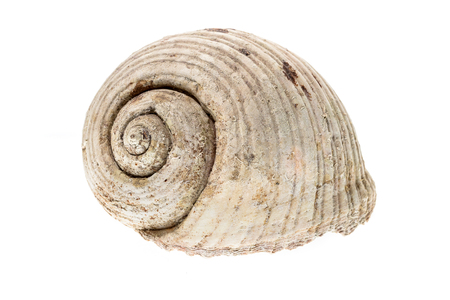 Helmet sea shell - Tonna Galea or Tun Shell. Empty house of a sea snail.  Sea shell with twisted canal from Adriatic or Mediterranean Sea - Croatia, Greece or Spain. Isolated on white Stock Photo