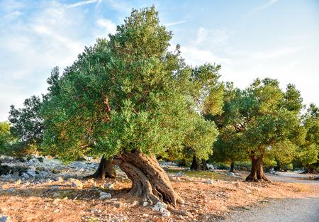 Grote en oude oude olijfboom in de olijf tuin in mediterraan - Kroatië of Griekenland. Stockfoto