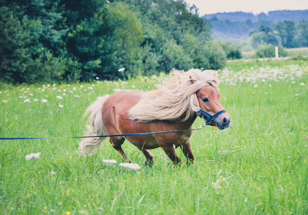 shetland pony: Pony horse on a leash is galloping on the meadow. Shetland Norwegian pony is exercising on green grass with forest in the background. Animal in nature Stock Photo