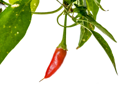 serrano: Red hot chili peppers Cayenne, Serrano with green stem. Cayenne, Serrano or Sicilian variety of chili. Studio image Isolated  on white background.