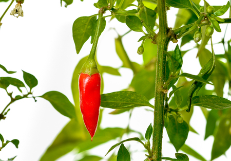 bush pepper: Pepper plant with fresh red chilli peppers growing in plastic pot, studio image on on white background
