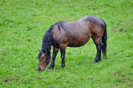 sodden: Horse in pasturing and eating grass in the rain. Wet animal without a shelter in the nature.