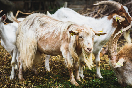 mountain goats: Mountain goats in natural environment on a pasture. Domestic animals in stables on in rural scene from Slovenia.