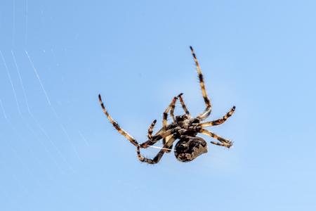 Cross spider (Araneus diadematus) - garden spider on the spiderweb. Cross spider is hunting in his web in Island Silba - Croatia. Stock Photo