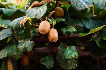 actinidia deliciosa: Closeup of Fresh kiwi fruit on green kiwi tree. Ripe Actinidia deliciosa on green vines waiting for harvest. Stock Photo