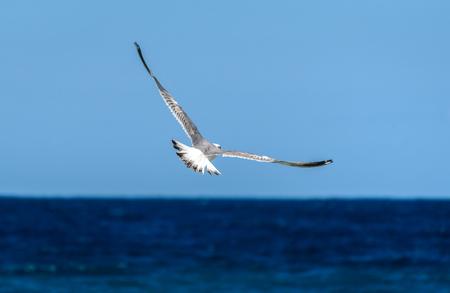 gaviota: Gaviota está volando y volando sobre el mar azul. Pájaro de mar en el cielo azul sobre el océano.