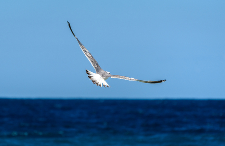 wingspan: Seagull is flying and soaring over blue sea. Sea bird in blue skies over the ocean. Stock Photo