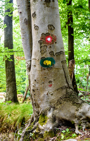 Mountain trail marker on a spruce or pine tree. Marked trail in woods in the summer. Stock Photo