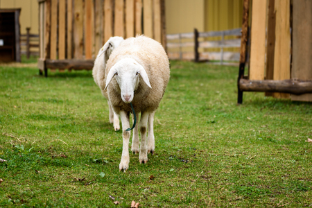 petting: Two Sheep in a small city petting ZOO. Natural city farming and agriculture.