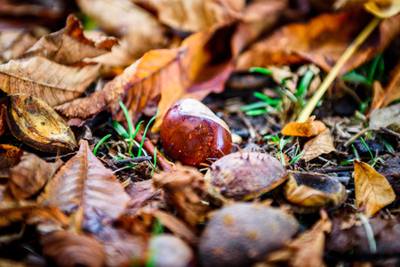 horse chestnut seed: Horse chestnut - Aesculus hippocastanum on forest floor with leaves. Bunch of Chestnuts and the season colored leaves in the park or forest.