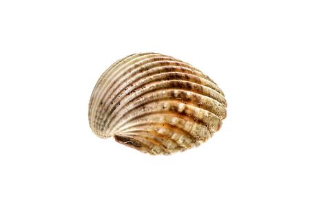 ridged: Fresh rough cockle clam (Acanthocardia tuberculata) shell isolated. Saltwater mussel is often used as culinary speciality with sea food. Isolated on white background. Stock Photo