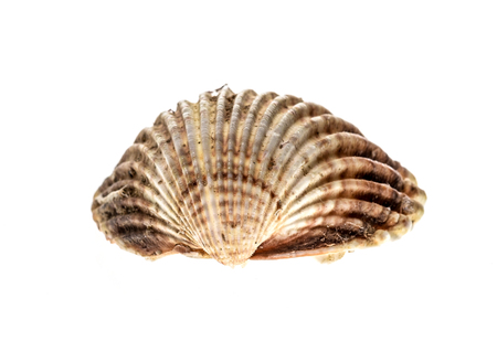 Fresh rough cockle clam (Acanthocardia tuberculata) shell isolated. Saltwater mussel is often used as culinary speciality with sea food. Isolated on white background. Stock Photo