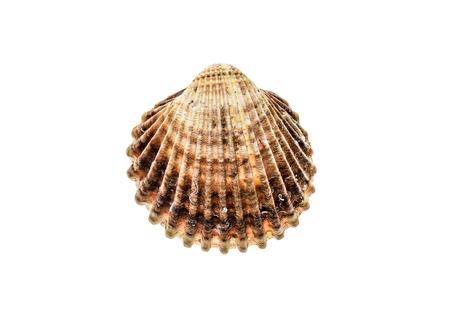 新鮮なラフ コックル貝 (Acanthocardia tuberculata) シェルが分離します。ムール貝の塩水は海の食べ物と料理の専門としてよく使用されます。白い背景上