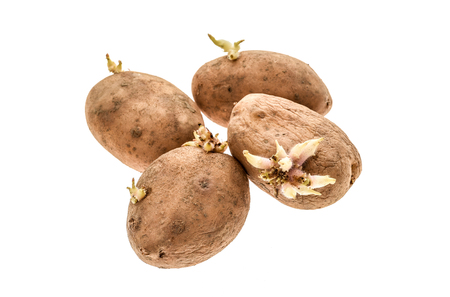 Organic potatoes with sprouts roots isolated on a white background. The homegrown potatoes are sprouting - producing and growing new roots.