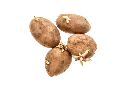 sprouted: Organic potatoes with sprouts roots isolated on a white background. The homegrown potatoes are sprouting - producing and growing new roots.