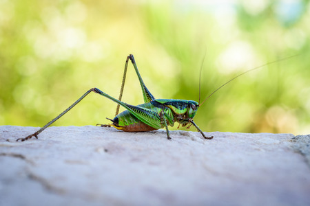 Green grasshopper or locust macro shot on a outdoor terrace and green background. Green insect outside in mediterranean climate - Adriatic sea - Silba Croatia.