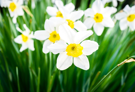 Beautiful white and yellow daffodils in garden. Yellow and white narcissuses in a floral garden in the nature. Soft focus or shallow depth of field