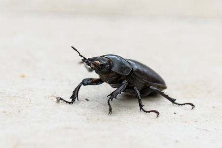 Big female stag beetle Lucanus cervus on terrace tiles. Lucanus cervus biggest European beetle and is most common species of stag beetle in Europe. The species are protected and marked as threatened.