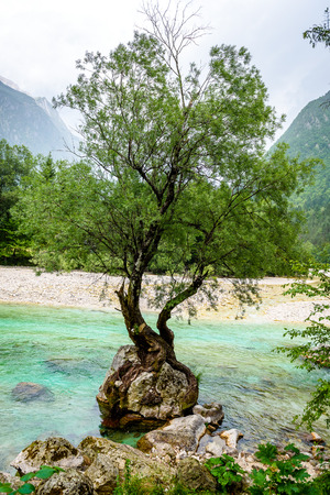 Tree growing from a rock on the river in Slovenia. Beautiful view of a tree holding on to a rock in the middle of river Soca or Lepenjica. Triglav National Park, Julian Alps, Slovenia, Europe.