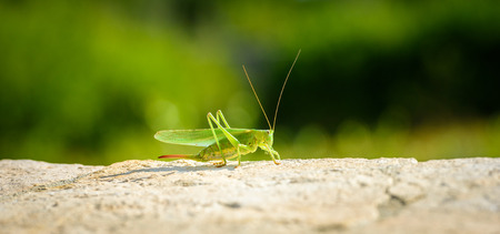Green grasshopper or locust close up on outdoor terrace. Green insect on stone terrace with blurred green background outside in Mediterranean climate - Adriatic sea - Silba Croatia.