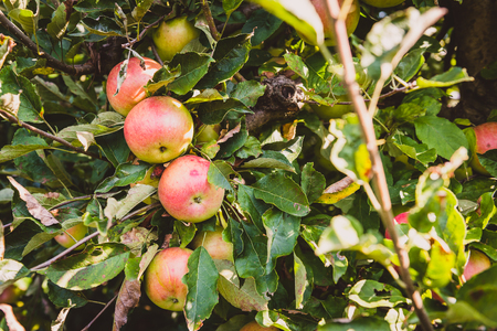 Fresh ripe organic apples on tree branch in apple orchard. Outdoor shot of bunch of red apples ready to be harvested on a sunny day.