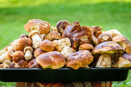 Boletus Edulis,  penny bun or porcino is wild edible mushroom. Bunch of home picked wild Boletus Edulis mushroom fungus on lawn grass meadow.