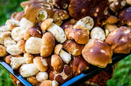 Boletus Edulis,  penny bun or porcino is wild edible mushroom. Bunch of home picked wild Boletus Edulis mushroom fungus. Texture of a heap of edible fungus.