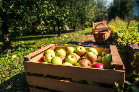 Fresh organic apples are in wooden crate on harvest day. Crates and baskets of freshly harvested organic apples in an apple orchard. Summer or fall harvest of apples.