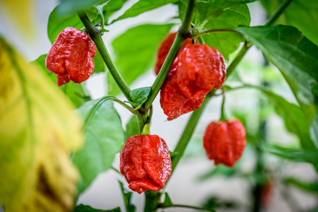 Red hot chilli pepper Trinidad scorpion on a plant. Capsicum chinense peppers on a green plant with leaves in home garden or a farm. Stock Photo