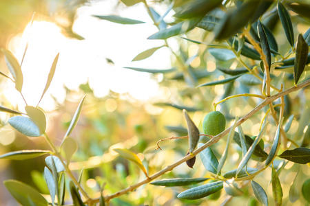 Olives on olive tree branch with sunshine in background. Detail closeup of Green olives fruits with selective focus and shallow depth of field. Mediterranean, Adriatic Sea, Croatia.
