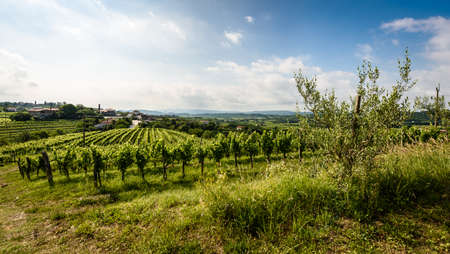 View of famous wine region Goriska Brda hills in Slovenia. Panoramic photo of villages, vineyard rows and terrace of grapevineplants. Rural landscape photo of winery hills on a sunny day.