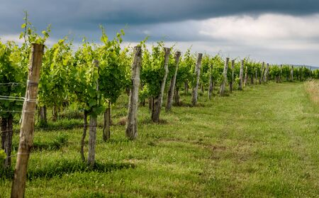 View of famous wine region Goriska Brda hills in Slovenia. Panoramic photo of vineyard rows and terrace of grapevineplants. Rural landscape photo of winery hills on a cloudy day.