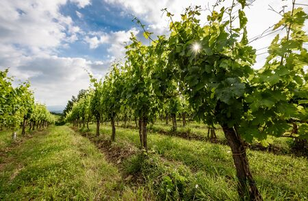View of famous wine region Goriska Brda hills in Slovenia. Panoramic photo of vineyard rows and terrace of grapevineplants. Rural landscape photo of winery hills on a sunny day.