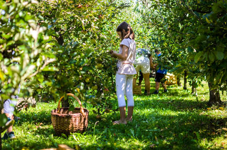 Child picking tasty red apple from tree in summer. Little girl is harvesting organic ripe fruit from a tree in the orchard. Concept of healthy eating and home grown, organic food.
