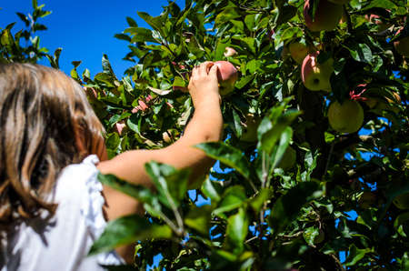 Child hand picking tasty red apple from tree in summer. Little girl is harvesting organic ripe fruit from a tree in the orchard. Concept of healthy eating and home grown, organic food.
