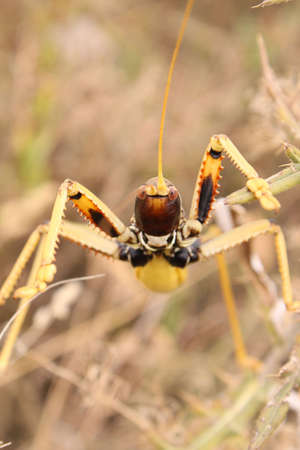 big yellow grasshopper, full face Stock Photo - 7233445