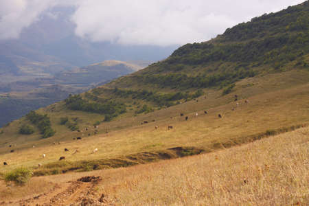 the cows are grazing on the gentle slope of mountain photo