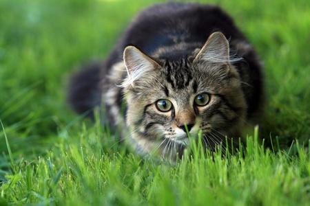 배회에 젊은 노르웨이 숲 고양이