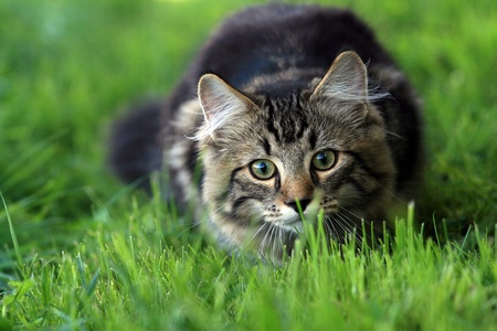Young Norwegian Forest Cat on the prowl
